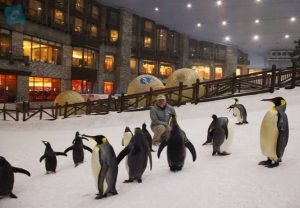 snow park dubai is a home for many penguins